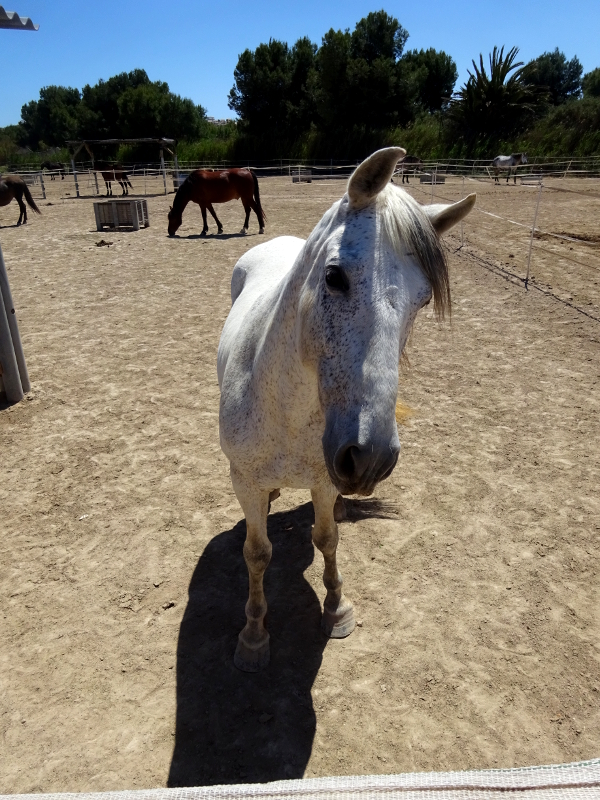 gorgeous white horse rescued by Easy Horse Rescue Center in Rojales