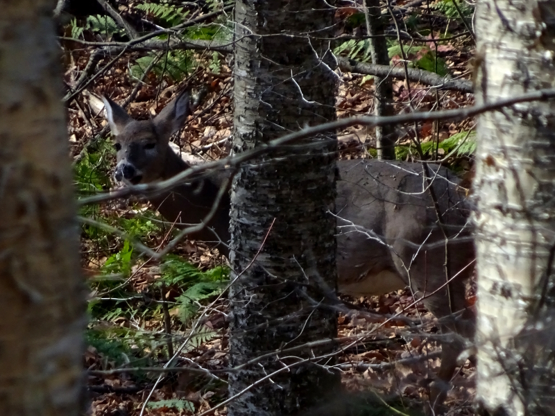 deer laughing in the woods of Dolly Sods