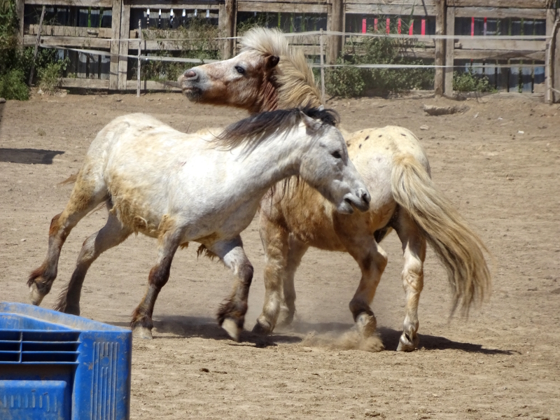 horses playing at Easy Horse Rescue Center Rojales