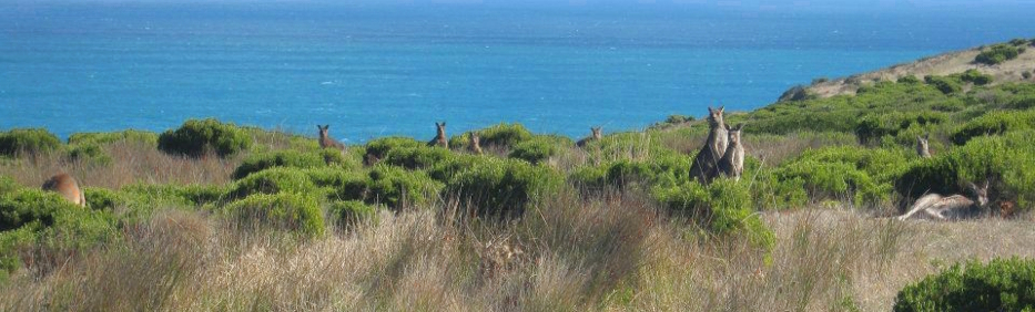 A hoarde of kangaroos at Cape Bridgewater, Victoria