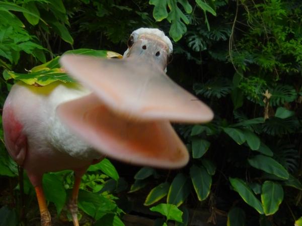 spoonbill | bird house in Smithsonian Zoo